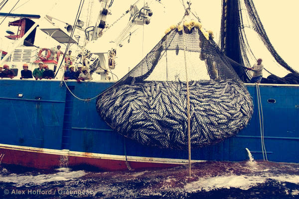 A net bulging with tuna and bycatch on the Ecuadorean purse seiner 'Ocean Lady', which was spotted by Greenpeace in the vicinity of the northern Galapagos Islands while using fishing aggregating devices (FADs). Around 10% of the catch generated by purse seine FAD fisheries is unwanted bycatch and includes endangered species of sharks and turtles. The catch of large amounts of juvenile bigeye and yellowfin tunas in these fisheries is now threatening the survival of these commercially valuable species. Greenpeace is calling for a total ban on the use of fish aggregation devices in purse seining and the establishment of a global network of marine reserves LAT 04:09 NORTH / LONG 091:31 WEST